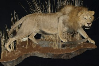 African Lion Full Body Mount