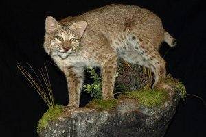 Bobcat Full Body Mount