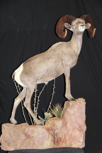 #3 Desert Sheep Archery SCI