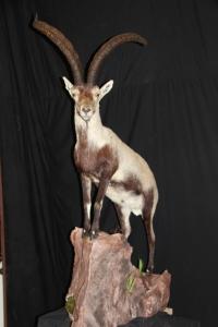 Spanish Ibex Gredos